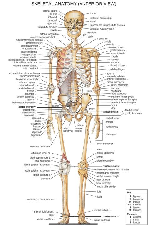 Skeletal System - Anatomy & Physiology